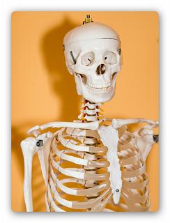 Inhalte der Heilpraktikerausbildung: Skelettsystem
